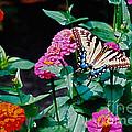 Swallowtail Among The Zinnias by Byron Varvarigos