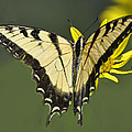 Swallowtail And Friend by Rodney Campbell