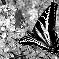 Swallowtail Butterfly And Plum Blossoms by Karon Melillo DeVega