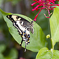 Swallowtail Butterfly by Linda Tiepelman