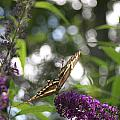 Swallowtail Butterfly by Virginia Pakkala