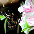 Swallowtail by David Weeks