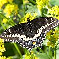Swallowtail by Mark J Seefeldt