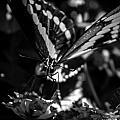Swallowtail On Lantana by Toma Caul