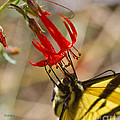 Swallowtail On Scarlet Gilia by Mitch Shindelbower