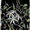 Swamplilies by Gabriele Ervin