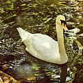 Swan by Angela Garrison