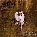 Swan At Susan Lake by Lydia Holly