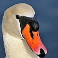 Swan by Bill Dodsworth