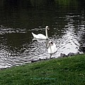 Swan Couple by Sonali Gangane