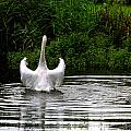 Swan Dance by Amanda Moore