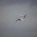 Swan Duo by Karol Livote
