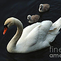 Swan Family 1 by Bob Christopher