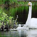 Swan Family Late Summer by Colette V Hera  Guggenheim