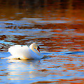 Swan Gold And Blue by Randall Branham