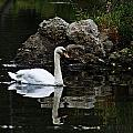 Swan I by Joe Faherty
