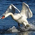 Swan In Action by Mats Silvan