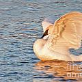 Swan In Golden Light by Carolyn Fox