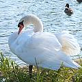 Swan In Sunlight by Don Downer
