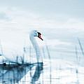 Swan by Jaroslaw Grudzinski
