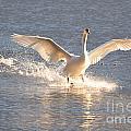 Swan Landing by Mats Silvan