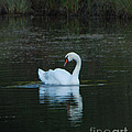 Swan Reflection by Grace Grogan