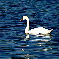 Swan Reflections by Beth Akerman