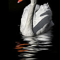 Swan Riflected In The Dark by Guido Nardacci