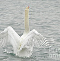 Swan by Ronald Grogan