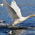 Swan Take Off by Mats Silvan