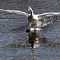Swan Touches Down by Chris Day