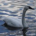 Swan Watching by Maxine Bochnia