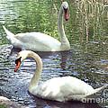 Swans by Anne Ferguson
