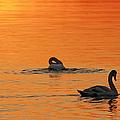 Swans In Early Light  by Randall Branham
