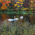 Swans In The Lake by Mikki Cucuzzo
