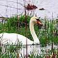 Swan's Marsh by Marie Jamieson