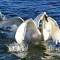 Swans Playing by Mats Silvan