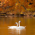 Swans Soft And Smooth by Randall Branham