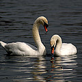 Swans Swimming by Chris Day
