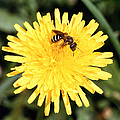 Sweat Bee by Science Source