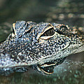 Sweet Baby Alligator by Kathy Clark