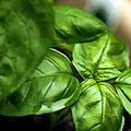 Sweet Basil From The Garden by Angela Rath
