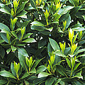 Sweet Bay (laurus Nobilis) by Archie Young