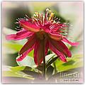 Sweet Dreams Passion Flower by Carol Groenen