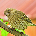 Sweet Finch Painted Effect by Debbie Portwood