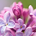 Sweet Lilac by Mitch Shindelbower