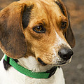 Sweet Little Beagle Dog by Kathy Clark