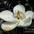 Sweet Magnolia by Paul Wilford