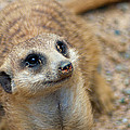 Sweet Meerkat Face by Carolyn Marshall
