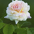 Sweet Morning Peace Rose by Kathy Clark